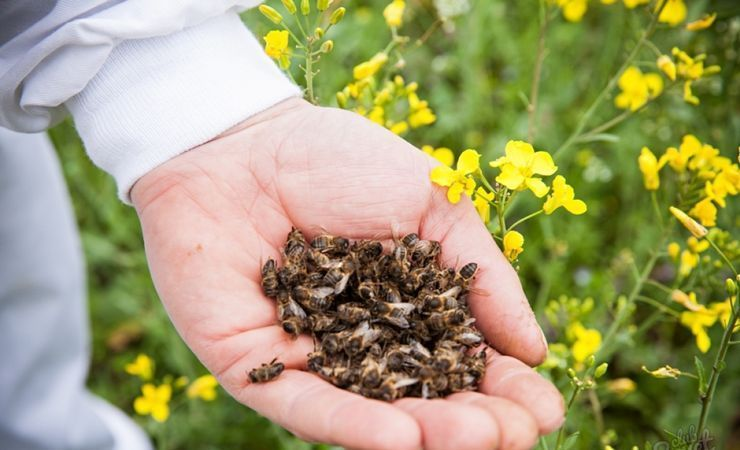 Польза пчелиного подмора для мужчин