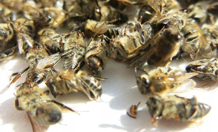 Подмор пчелиный: применение для мужчин